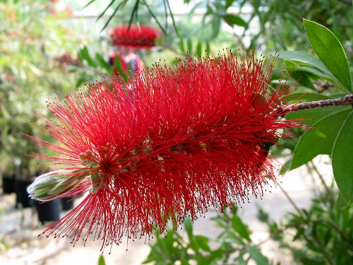 40 CRIMSON BOTTLEBRUSH Callistemon Citrinus Flowering Shrub Bush Small Tree Seeds (Red Brush Tree Bottle)