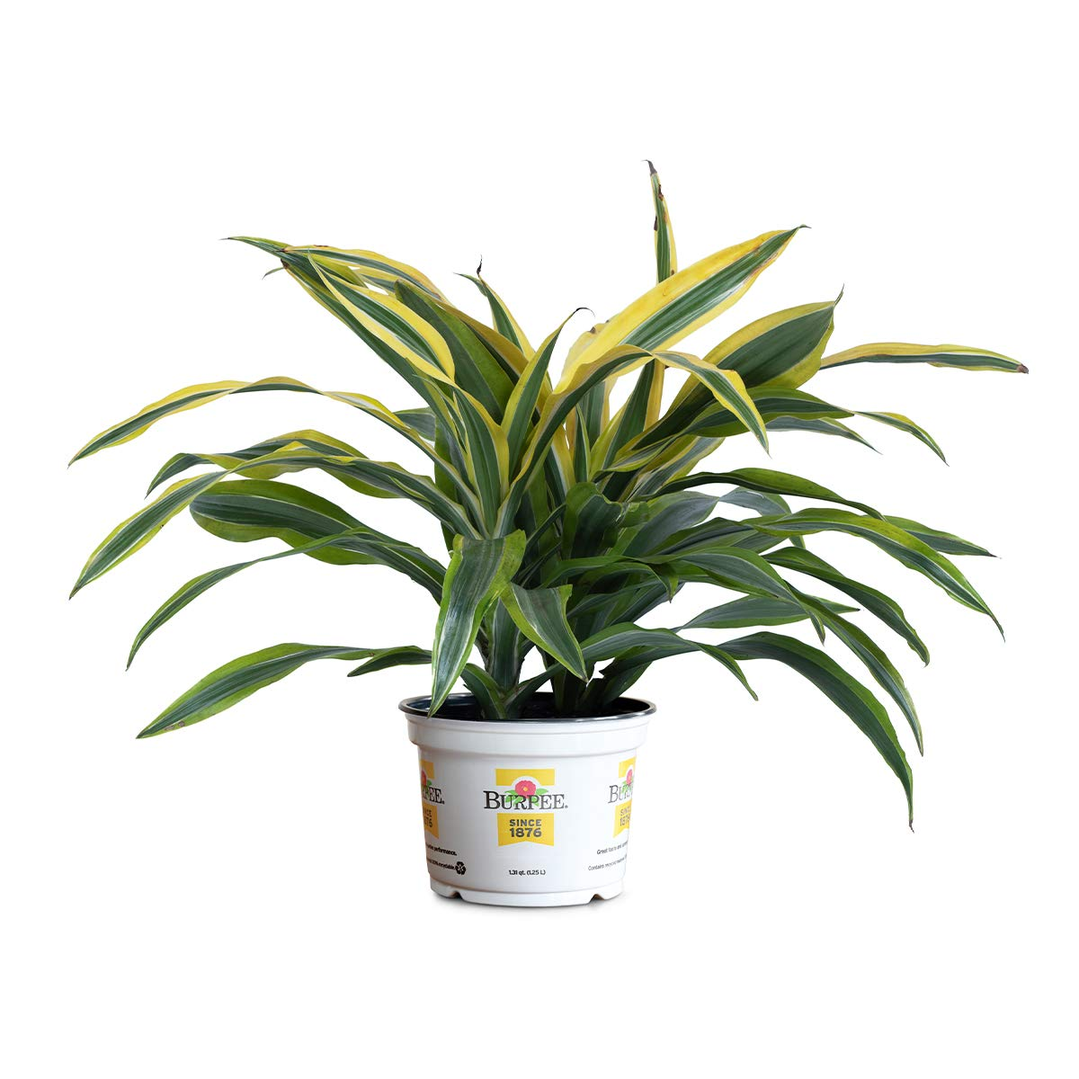 Burpee Dracaena Lemon Lime | Bright Indirect Light | Live Easy Care Houseplant, 6'' Pot