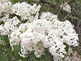 Betsy Ross Lilac - Syringa Oblata - Healthy Established Gallon Potted Shrub – 1 Plant by Growers Solution