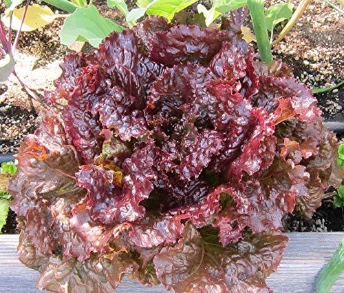 (Ruby Leaf Lettuce 350 Seeds, Deep Red, Summer Salad, Non-GMO)