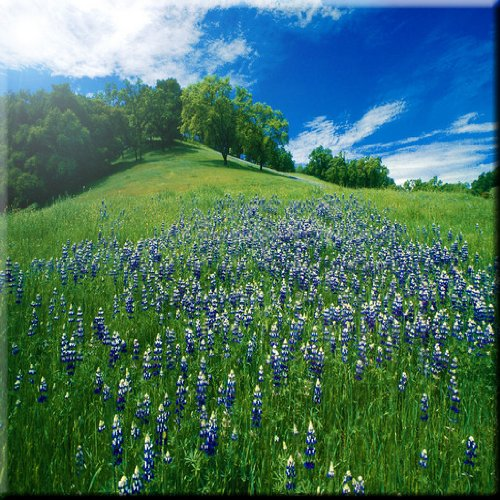 Rikki Knight 6 x 6 Gorgeous Blue Flowers in Sunny Field Design Ceramic Art Tile