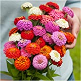Package of 250 Seeds, Sunbow Mixed Zinnia (Zinnia elegans) Non-GMO Seeds By Seed Needs