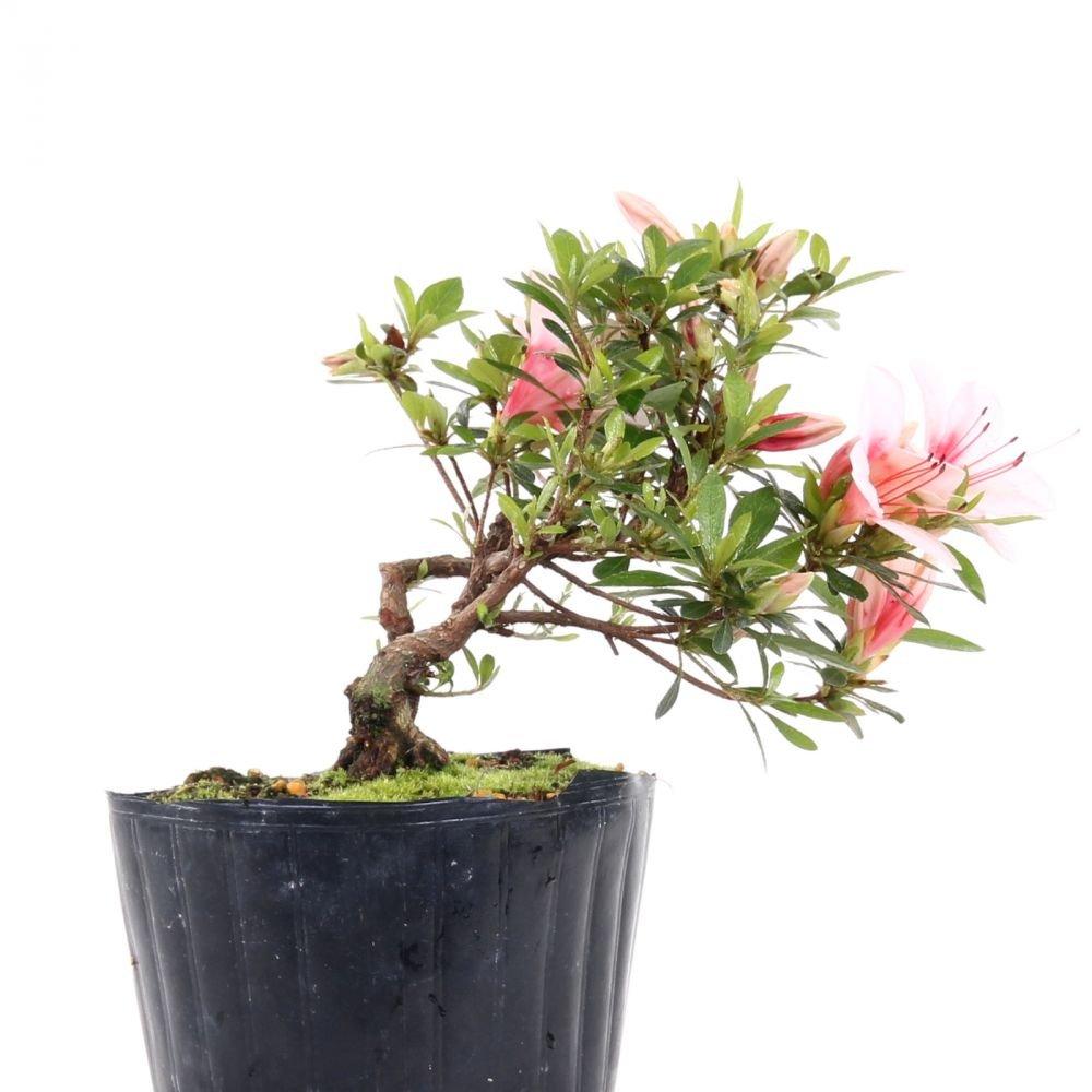 Bonsai - Jap. Satsuki Azalee 'Hi-no-Maru', Rhododendron indicum 183/55
