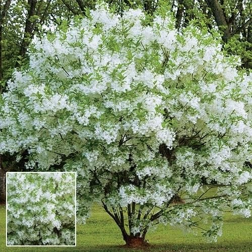 seedusa White Fringe Tree 15 Seeds (Chionanthus virginicus) Flowering -