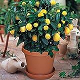 Loveble 30Pcs Rare Dwarf Lemon Tree Seeds Indoor/Outdoor