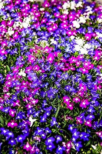 Rainbow Lobelia Flower Trailing Spreading Hanging Baskets Planter Pot 300 ()