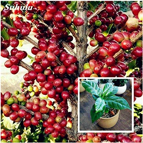 Grosses soldes! 15 Pcs Coffea arabica Graines Coffee Bean Tropical Bonsaï Graines, Pluriannuel Fruit Café Graines de jardin Plante SVI