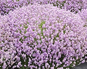 Pack Of 20 English Rose Lilac