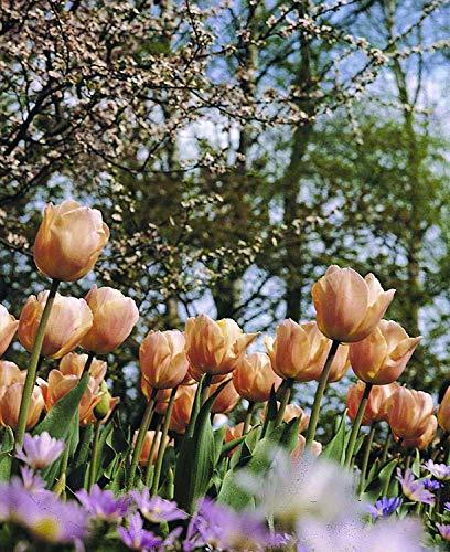 Burpee's Apricot Beauty Tulip - 10 Flower Bulbs | Apricot | 12 - 14cm Diameter by Burpee (Image #3)