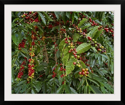 GreatBIGCanvas ''Kona Coffee Beans on The Tree, Hawaii'' by G. Brad Lewis Photographic Print with Black Frame, 36'' x 29'' by greatBIGcanvas
