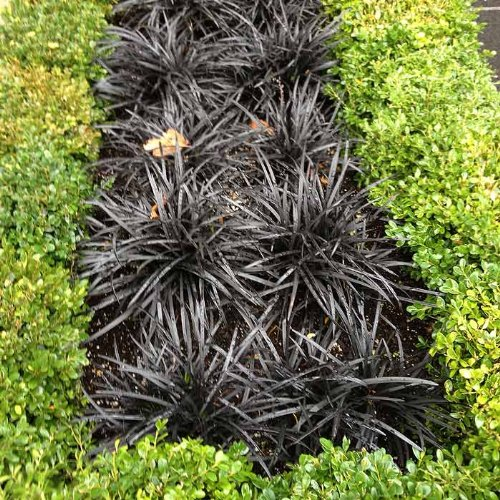 5 Bare Root Black Mondo Grass Divisions Ophiopogon Planiscapus #039Nigrescens