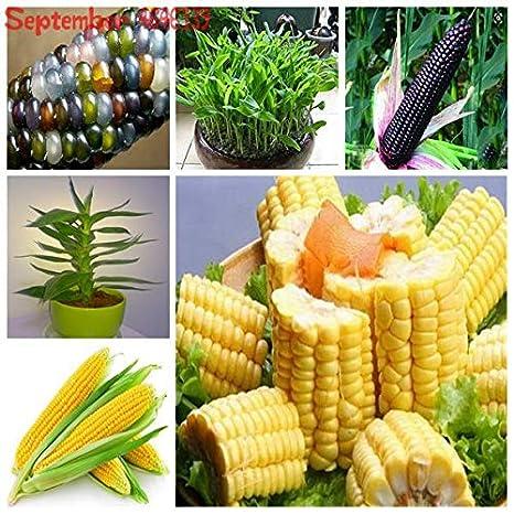 HONIC 30Sweet Arco Iris de maíz Bonsai vehículos Coloridos de maíz ...