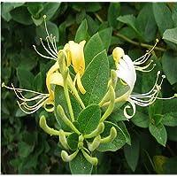 100pcs/bag Honeysuckle (Tecomaria Capensis) Seeds Lonicera Japonica Herbal Medicine...