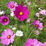 Flower Seeds - Cosmos Sensation Mix - Open Pollinated Non GMO