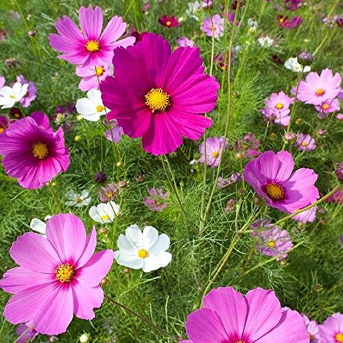 Flower Seeds - Cosmos Sensation Mix - Open Pollinated Non GMO - 800 Seeds by Hill Creek Seeds ()