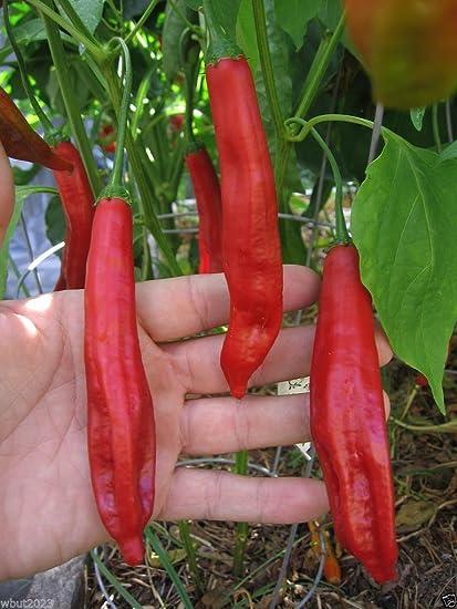 Amazon com : 10 Seeds - Aji Colorado Chili Chile Pepper ( Capiscum