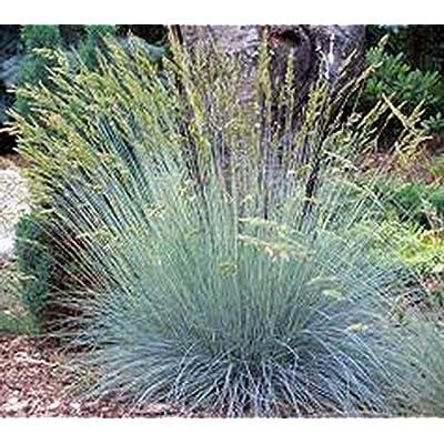 Seeds Festuca cinerea. Ground Cover from Ukraine 0.2 Gram : Garden & Outdoor