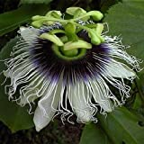 Passiflora edulis - passion fruit - 10 seeds