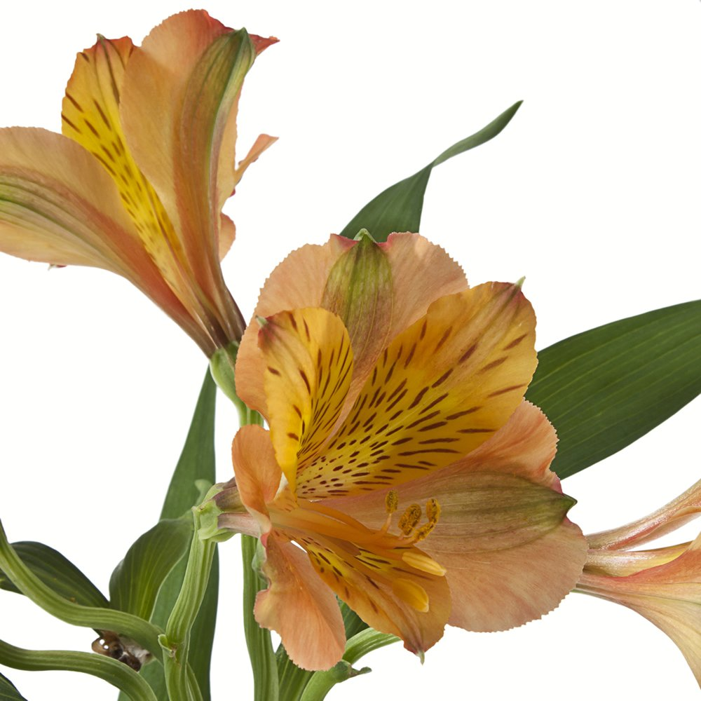 eFlowy - 80 Orange Alstroemerias - Peruvian Lilies Wholesale