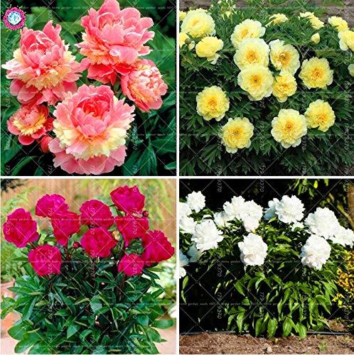 - Pasonaseeds - Bonsai - 10cs Bonsai 'Walter Mains' Tree Peony,Rare Beautiful Garden Flower Mix Color Paeonia Suffruticosa-Land Miracle DIY Yard