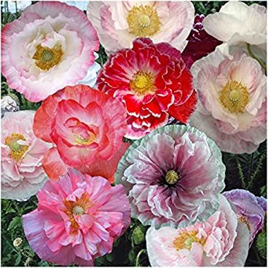 Package of 10,000 Seeds, Shirley Mixed Poppy  Double Mixture  (Papaver rhoeas) Non-GMO Seeds by Seed Needs