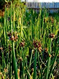 Egyptian Walking Onions ★★ Walking Onion ★★ Allium ★ Easy to Grow ★ 6 Bulbils ★