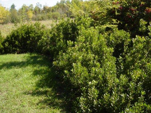 4 Northern Bayberry (Myrica pensylvanica) 1-2'