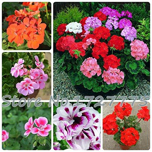 20 Stück * Tasche Garten Geranium Samen Blumen Pelargonium Außendekoration Pflanzen Heim Flores Seed Topf Bonsai Blumen Günstige
