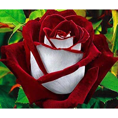 Colorful Rose hep Flower Seeds for Home Balcony Garden Yard Potted Decoration, 50 Seeds (Magician) : Garden & Outdoor