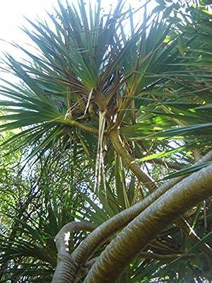 10 Seeds Pandanus unicornutus Phuket Screw Pine Tree