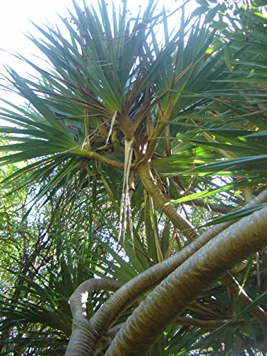 10 Seeds Pandanus unicornutus Phuket Screw Pine Tree (Air Phuket)