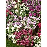 Perennial: SWEET WILLIAM 'MIX', 40 seeds - Dianthus barbatus - Rock Gardens, Easy To Grow - High Germination, Fresh Seed