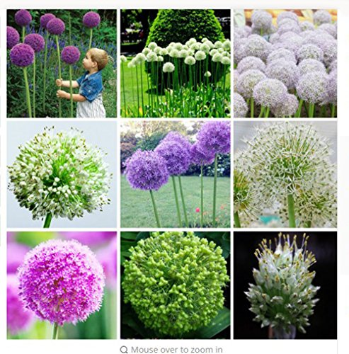 fino shop mix 120 pcs Multi Color (White/Purple/Green) Onion Seeds Balcony Potted Allium Seeds Exotic Perennial Ornamental Flower Seeds