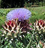 Pieno Inerme Cardoon - Extremely RARE!!!- An Italian cardoon!!!! (50 - Seeds)