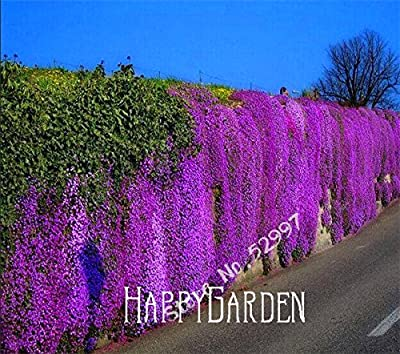 100 Seeds/lot Rock Cress,Aubrieta Cascade Purple FLOWER SEEDS, Superb perennial ground cover for home garden