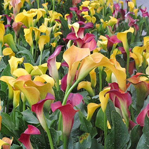 100pcs-garden-flowering-bulbs-potted-plant-zantedeschia-hybrida-flower-seeds
