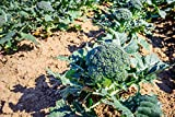 100 Broccoli Seeds - Sprouting Calabrese Brassica Oleracea