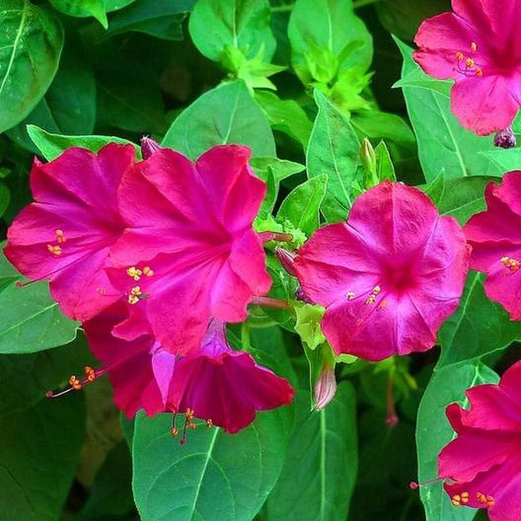 45 SEEDS FOUR O/'CLOCK FLOWER Mirabilis jalapa Fluorescent Marvel of Peru
