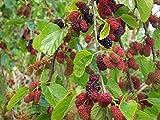 White Mulberry, Morus Alba, Tree 50 Seeds, (Hardy, Edible Fruit)