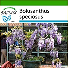 SAFLAX - Bonsai - African Wisteria Tree (Bolusanthus speciosus) - 15 seeds - Cold House Bonsai - With potting soil