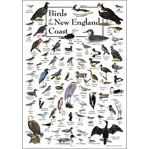 Earth Sky & Water Poster - Birds of New England Coast