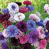 "Non GMO Bulk Cornflower/Bachelor Button Seeds -""Tall Mix"" Centaurea cyanus (1/4 Lb) 22,500 Seeds"