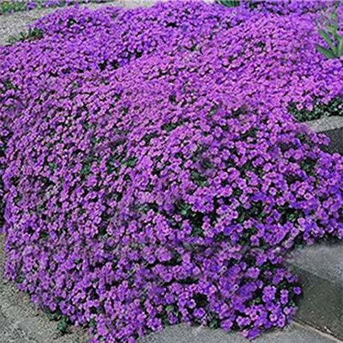 Backyard 50 Pcs Phlox subulata Perennial Flower Seeds Home Balcony Garden Plants Mix bee Flower Seeds