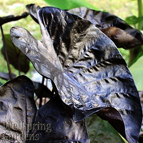 ELEPHANT EAR – COLOCASIA 'Black Ripple' PPAF LIVE PLANT Purple Leaves 'Puckered Up'
