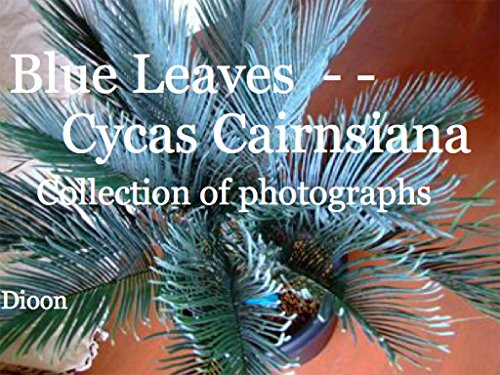 Blue leaves - - Cycas Cairnsiana