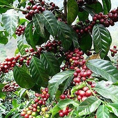 Ask Coffea arabica nana       100 seeds  Need More