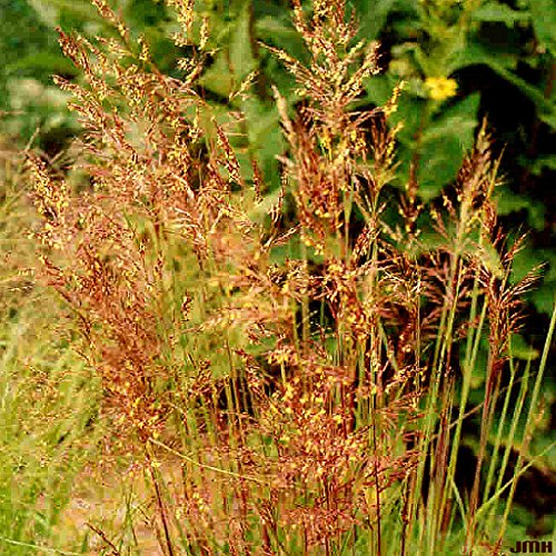 (500+Indian Grass Seeds Native Prairie Wildflower Clumping Ornamental)