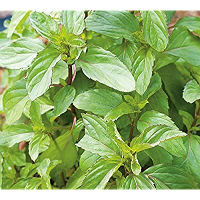 Herb Seeds - Peppermint - 20,000 Seeds: Toys & Games