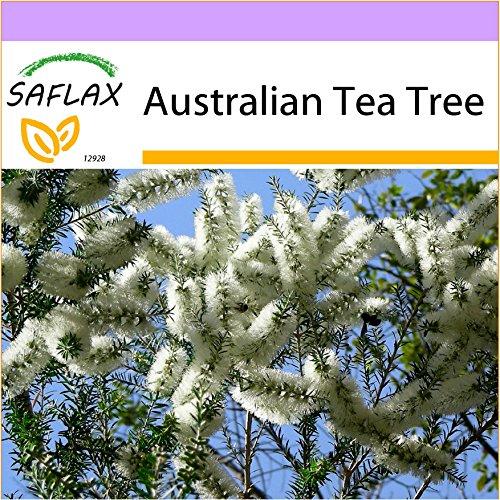 SAFLAX - Australian Tea Tree - 400 Seeds - Melaleuca alternifolia (Tea Plant Australian Tree)