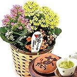 敬老の日 プレゼント 生花カランコエ花鉢と和菓子どら焼きセット